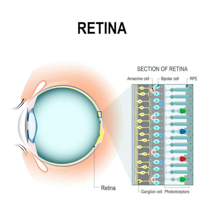 Section of retina diagram