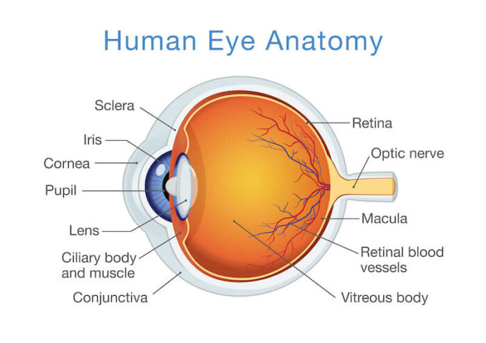Human Eye Anatomy diagram